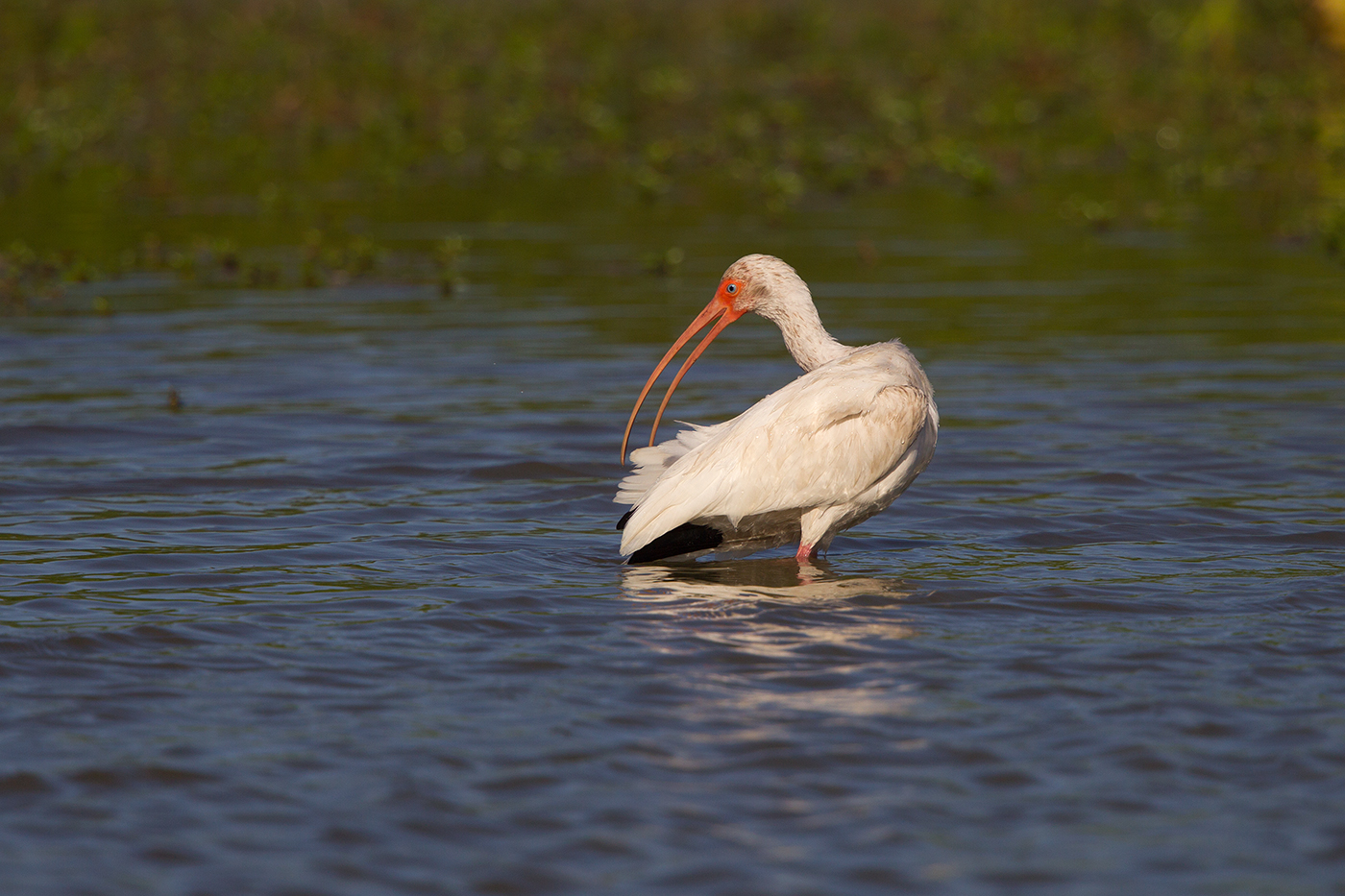 WHITE IBIS - HIDALGO COUNTY TX MARCH, 2017