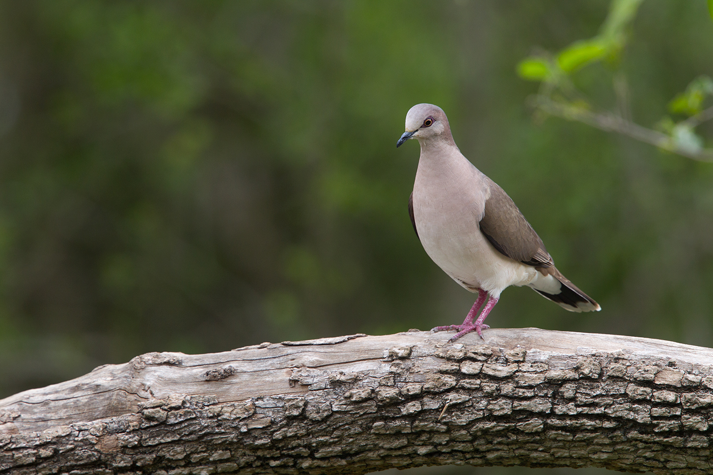 WHITE-TIPPED DOVE - HIDALGO COUNTY TX MARCH, 2017