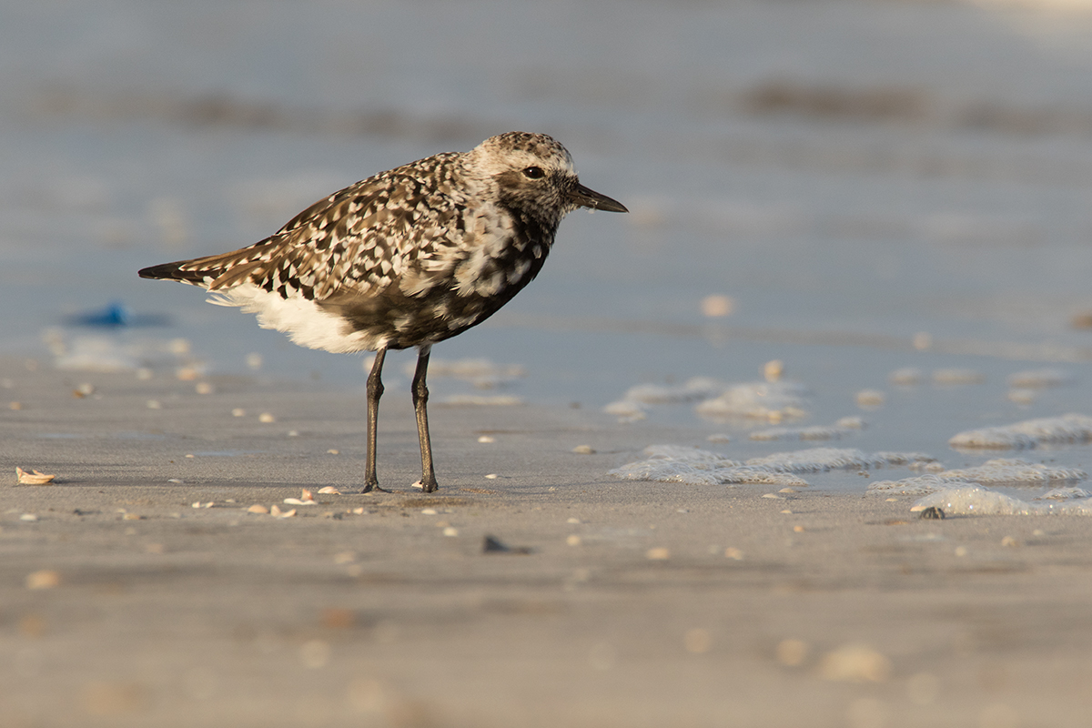 BLACK-BELLIED PLOVER - GALVESTON COUNTY TX APRIL, 2017