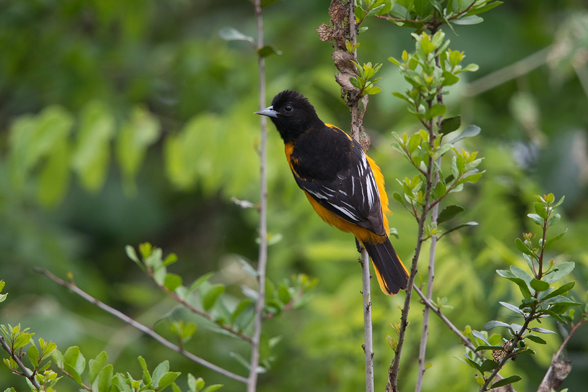 BALTIMORE ORIOLE - GALVESTON COUNTY TX APRIL, 2017