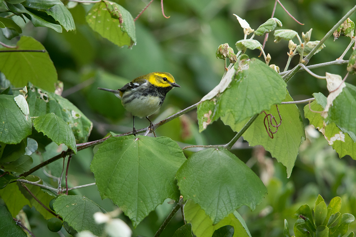 BLACK-THROATED GREEN WARBLER - GALVESTON COUNTY TX APRIL, 2017
