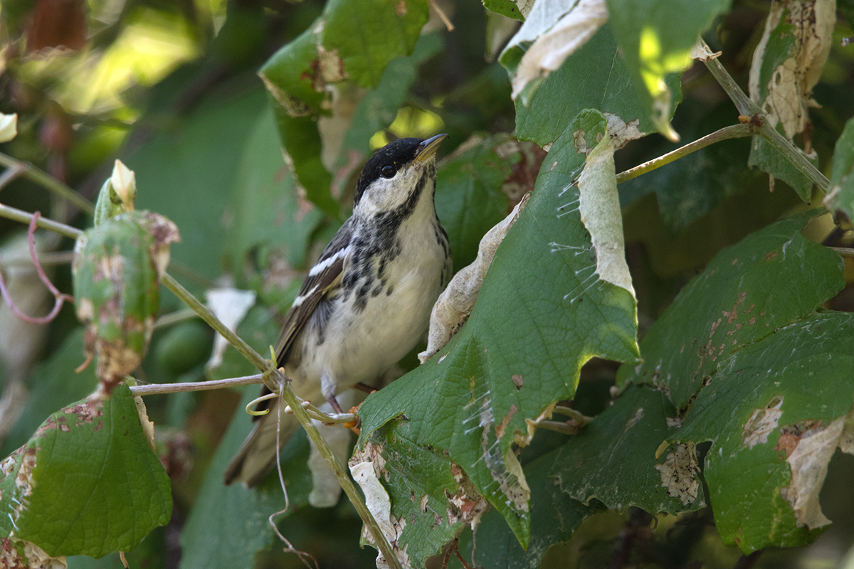 BLACKPOLL WARBLER - GALVESTON COUNTY TX APRIL, 2017