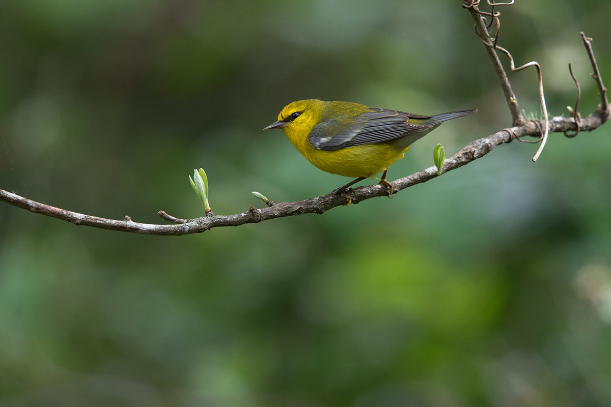 BLUE-WINGED WARBLER - GALVESTON COUNTY TX APRIL, 2017