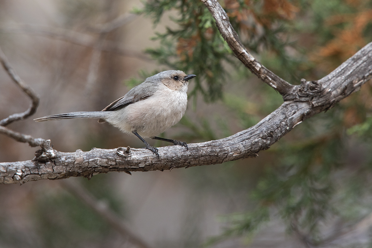 BUSHTIT - JEFF DAVIS COUNTY TX APRIL, 2017