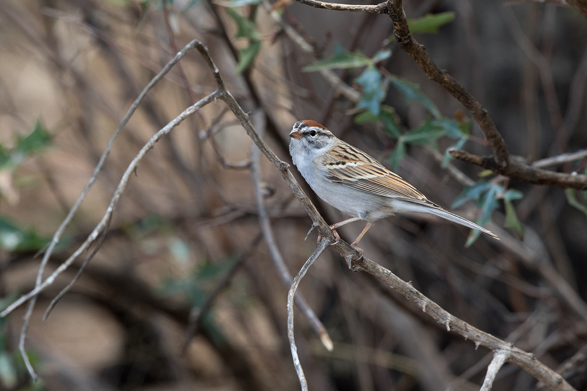 CHIPPING SPARROW - JEFF DAVIS COUNTY TX APRIL, 2017