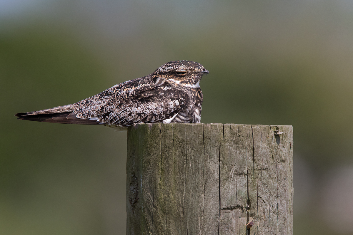 COMMON NIGHTHAWK - GALVESTON COUNTY TX APRIL, 2017