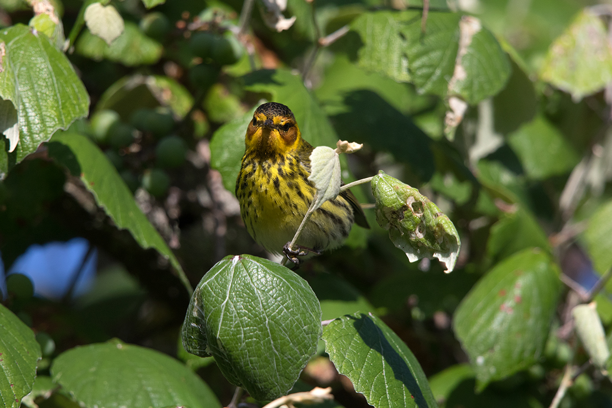 CAPE MAY WARBLER - GALVESTON COUNTY TX APRIL, 2017