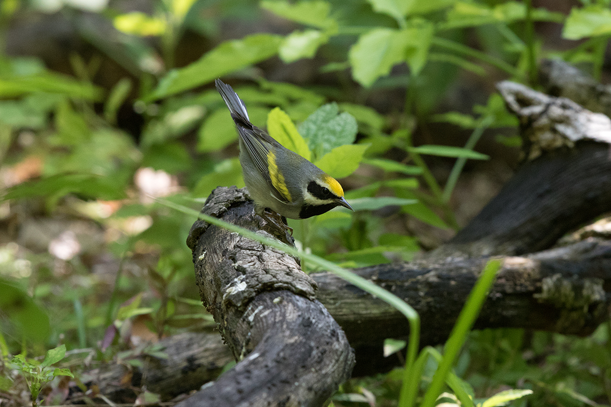 GOLDEN-WINGED WARBLER - GALVESTON COUNTY TX APRIL, 2017