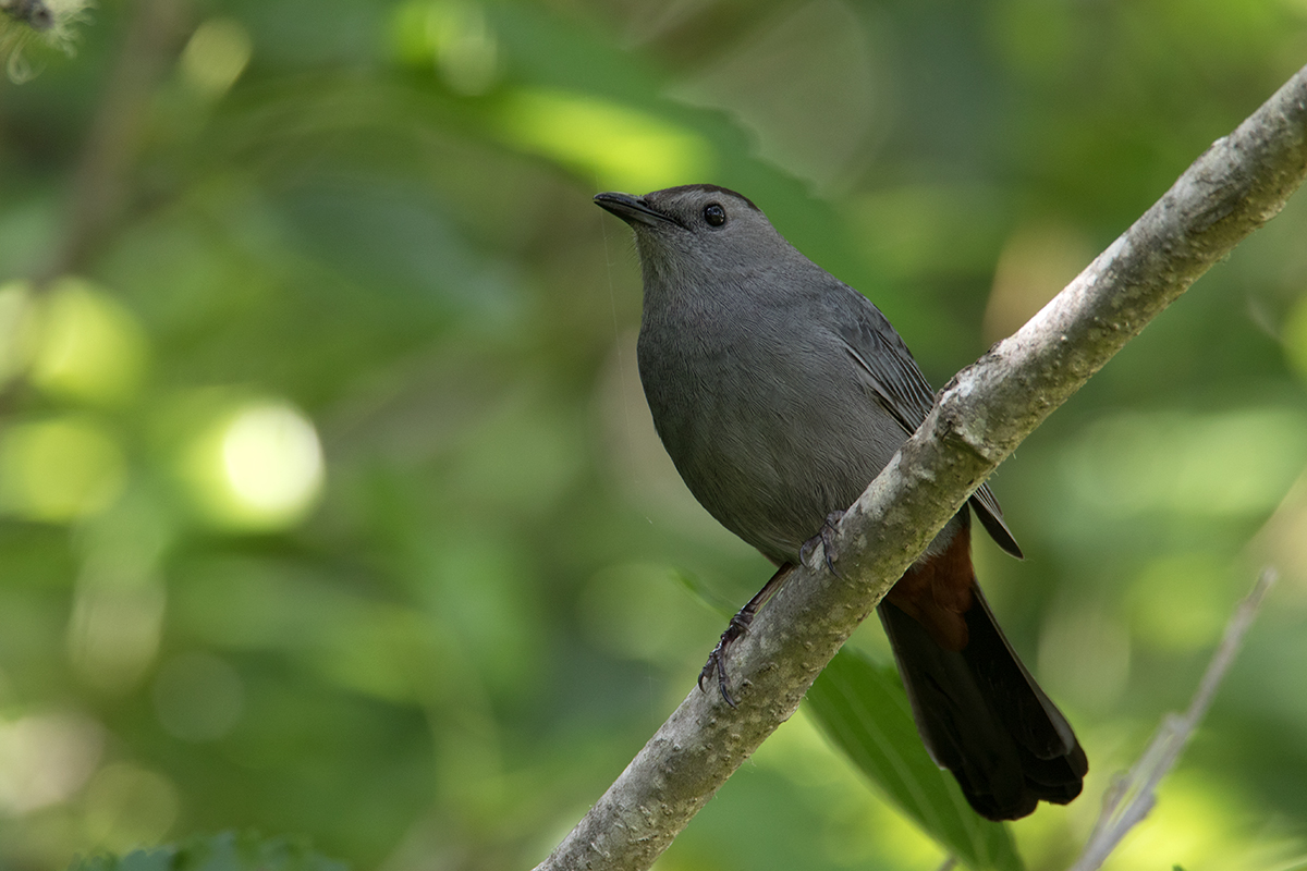GRAY CATBIRD - GALVESTON COUNTY TX APRIL, 2017