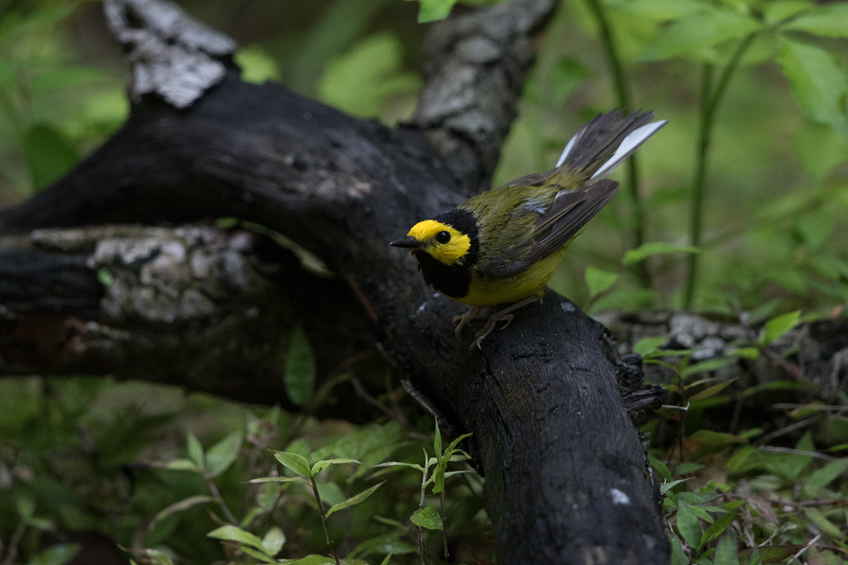 HOODED WARBLER - GALVESTON COUNTY TX APRIL, 2017
