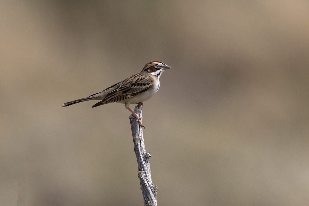 LARK SPARROW - JEFF DAVIS COUNTY TX APRIL, 2017