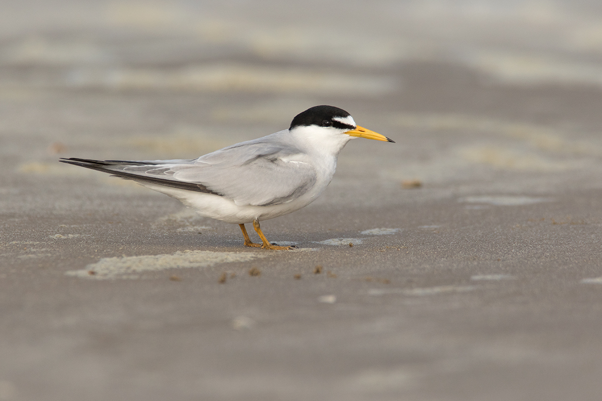 LEAST TERN - GALVESTON COUNTY TX APRIL, 2017