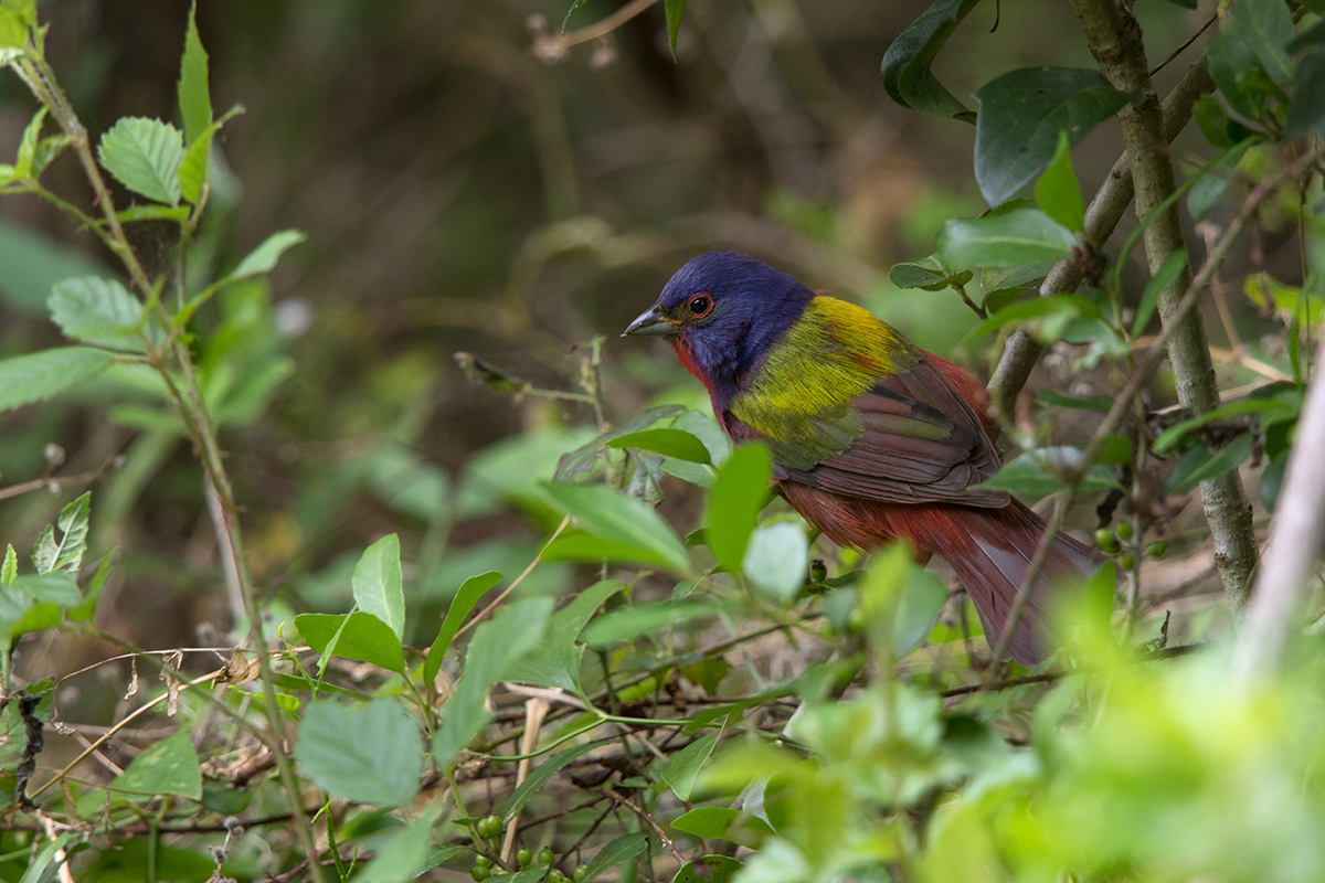 PAINTED BUNTING - GALVESTON COUNTY TX APRIL, 2017