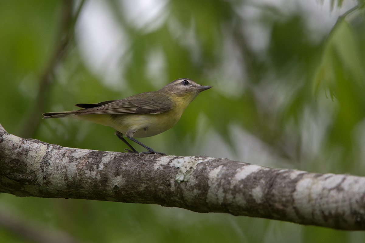 PHILIDELPHIA VIREO - GALVESTON COUNTY TX APRIL, 2017