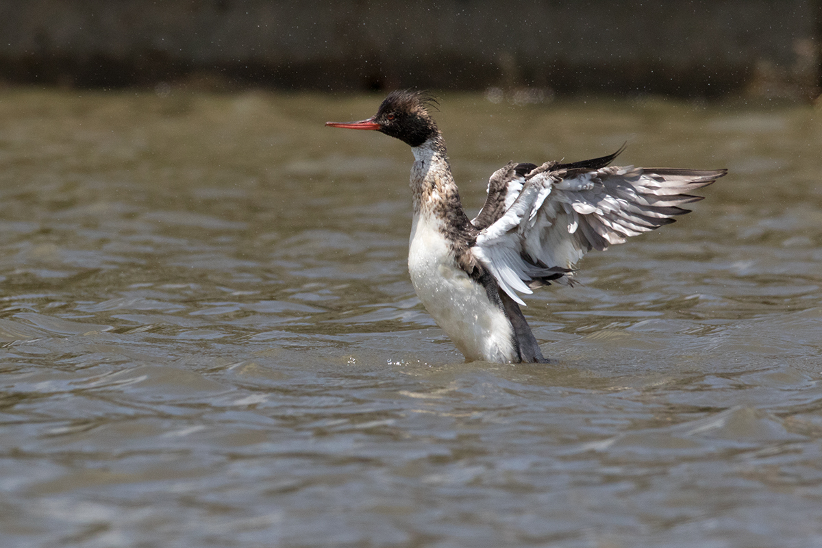 RED-BREASTED MERGANSER - GALVESTON COUNTY TX APRIL, 2017