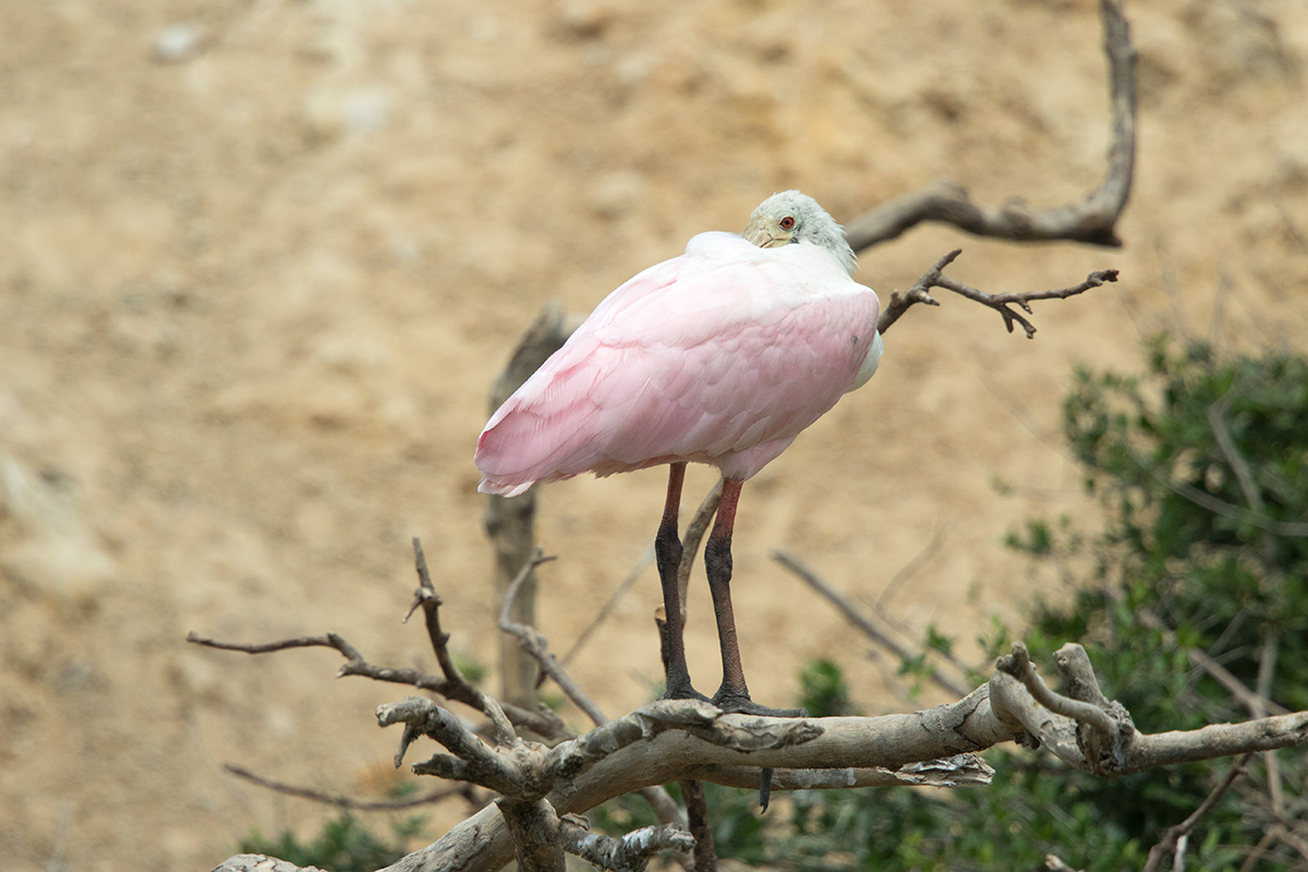 ROSEATE SPOONBILL - GALVESTON COUNTY TX APRIL, 2017