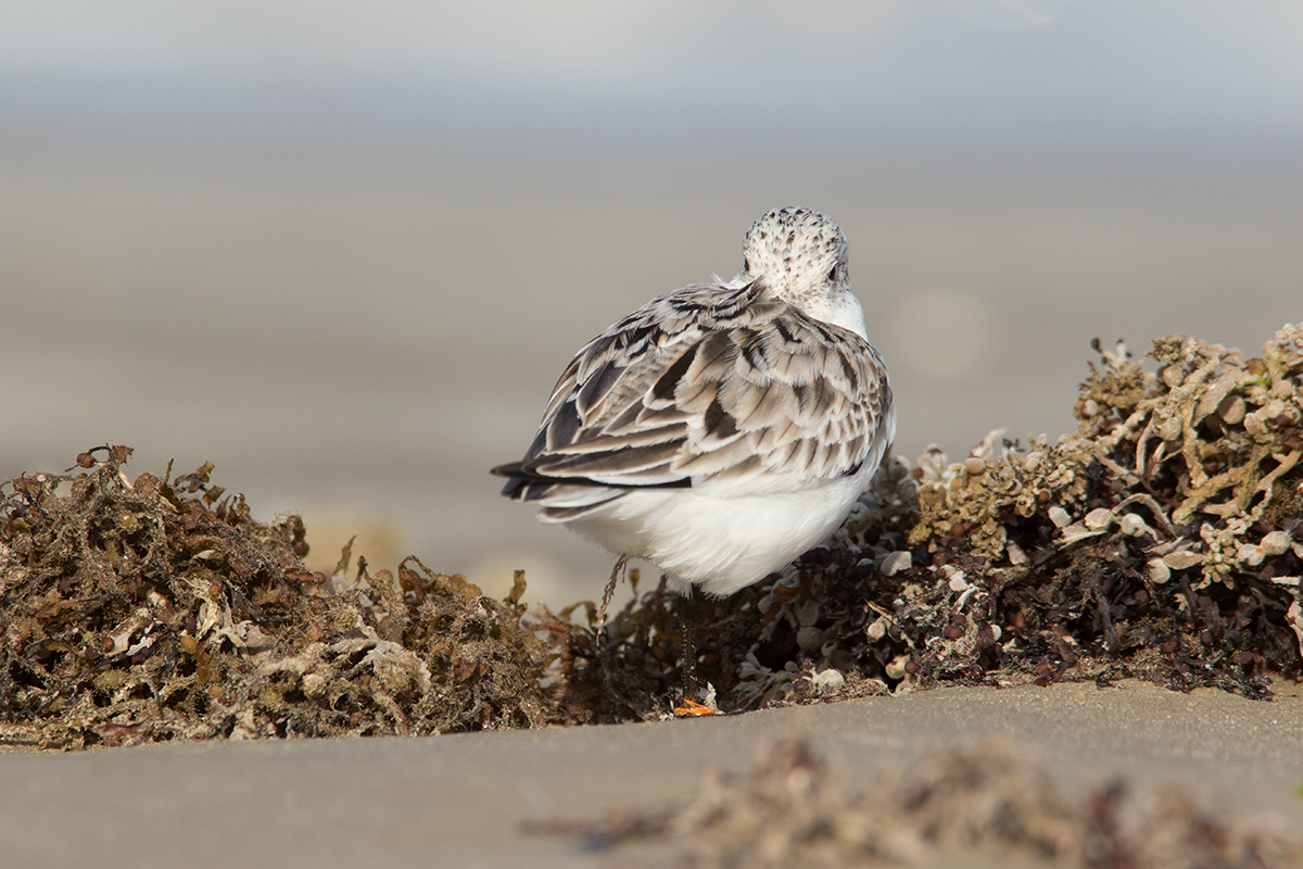 SANDERLING - GALVESTON COUNTY TX APRIL, 2017