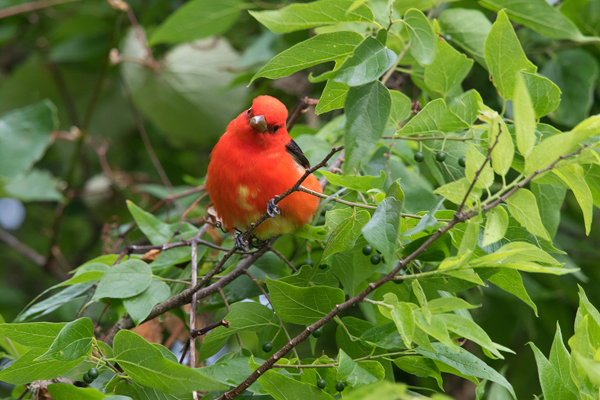 SCARLET TANAGER - GALVESTON COUNTY TX APRIL, 2017