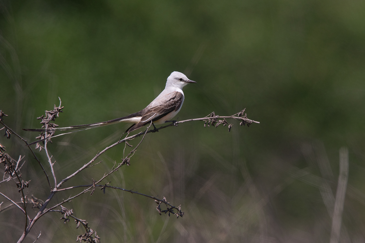 SCISSOR-TAILED FLYCATCHER - GALVESTON COUNTY TX APRIL, 2017