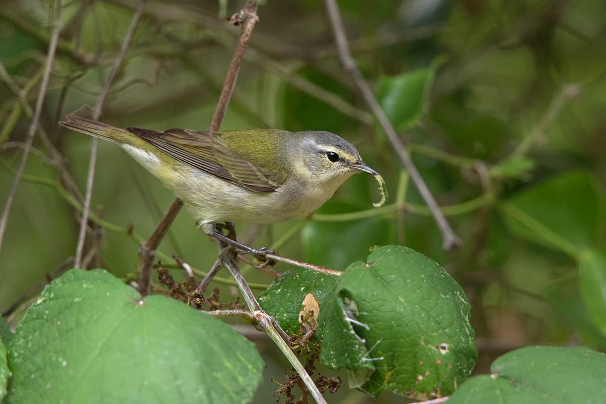 TENNESSEE WARBLER - GALVESTON COUNTY TX APRIL, 2017