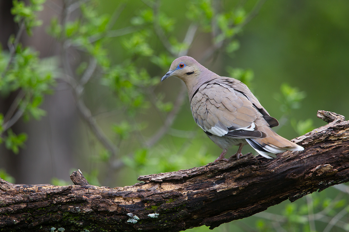 WHITE-WINGED DOVE - KIMBLE COUNTY TX APRIL, 2017