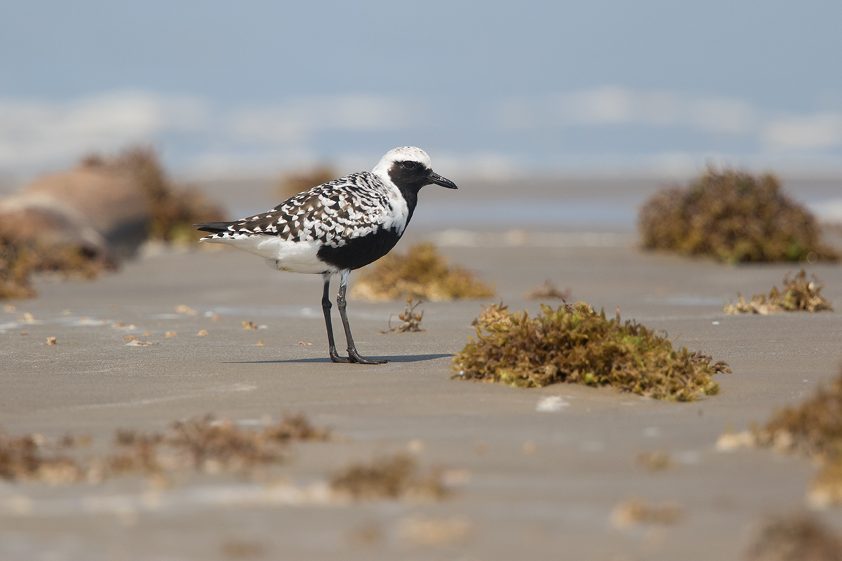 BLACK-BELLIED PLOVER - GALVESTON COUNTY TX MAY, 2017