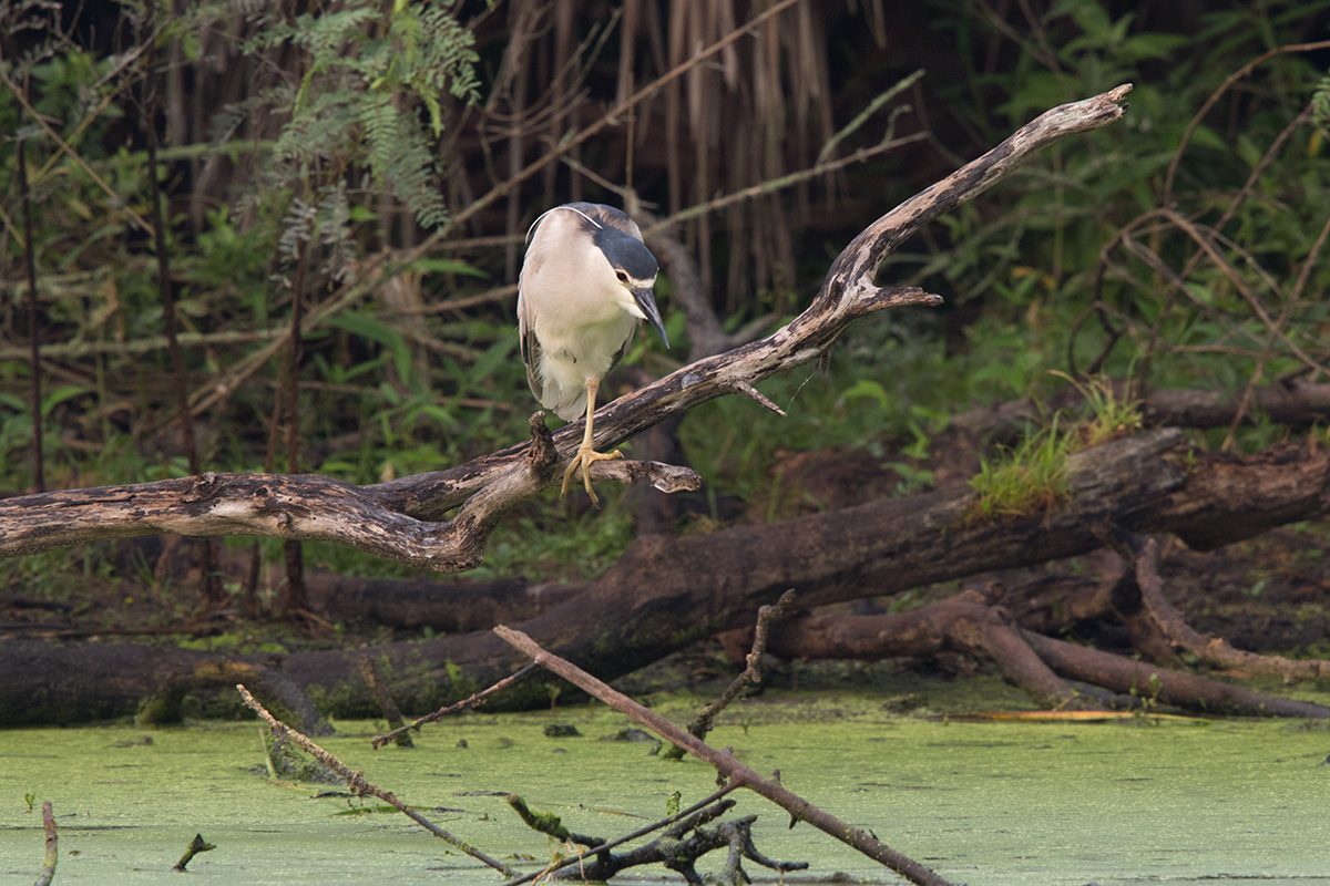 BLACK-CROWNED NIGH-HERON - GALVESTON COUNTY TX MAY, 2017
