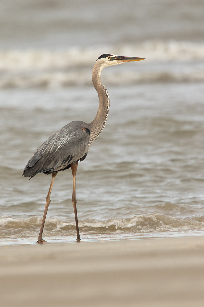 GREAT BLUE HERON - GALVESTON COUNTY TX MAY, 2017