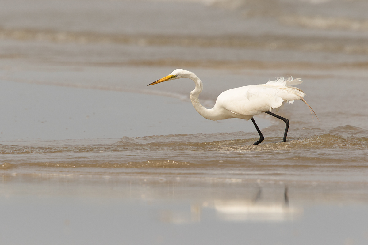 GREAT EGRET - GALVESTON COUNTY TX MAY, 2017