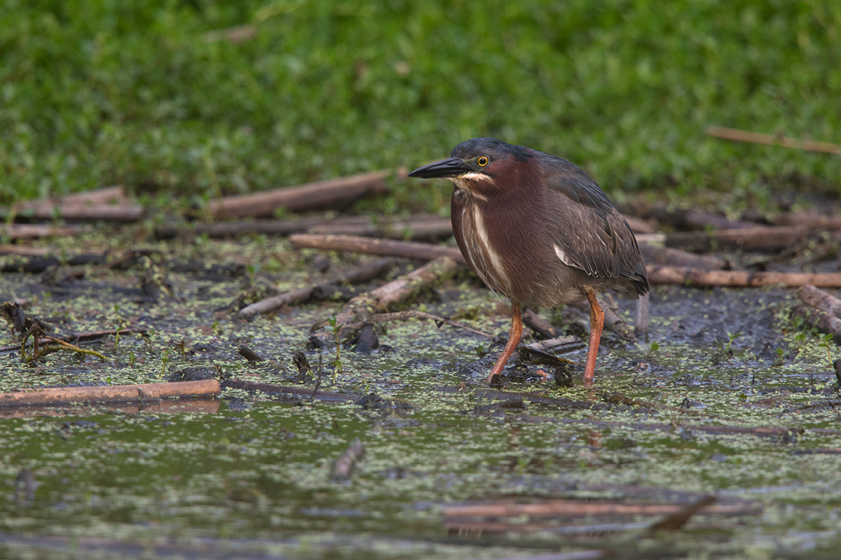 GREEN HERON - GALVESTON COUNTY TX MAY, 2017