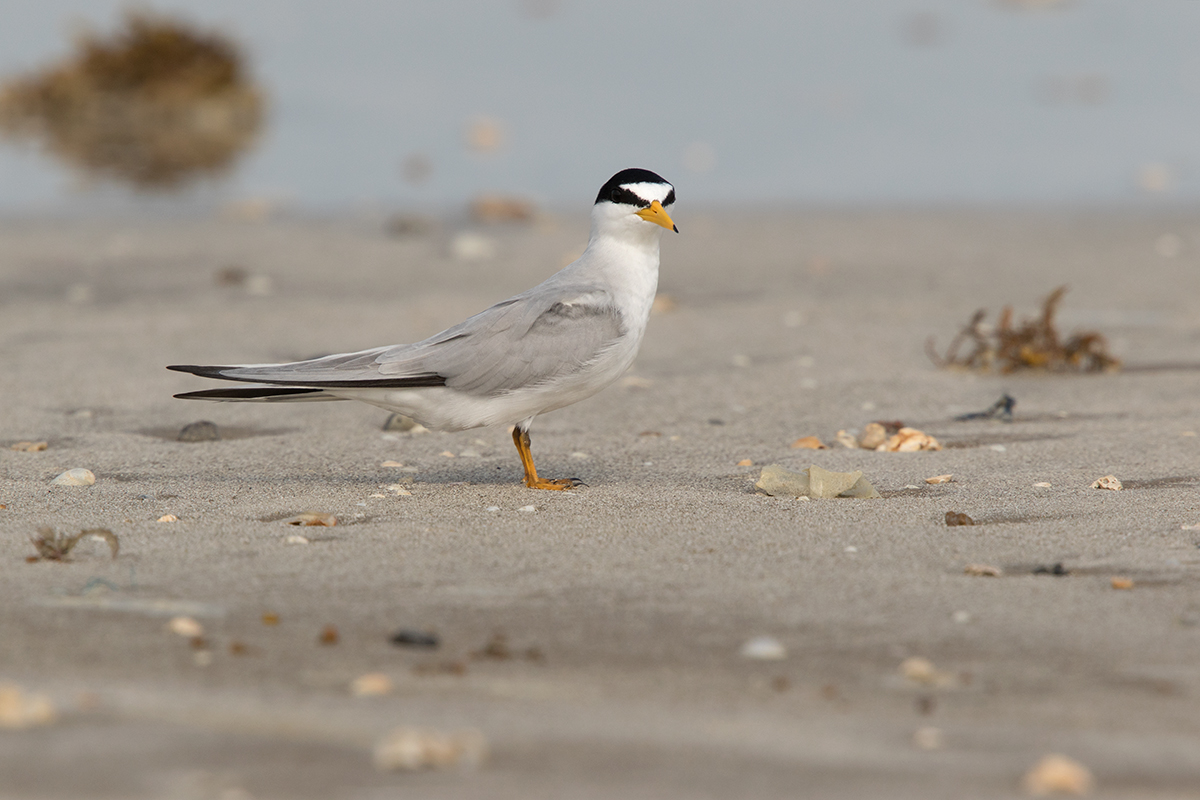 LEAST TERN - GALVESTON COUNTY TX MAY, 2017