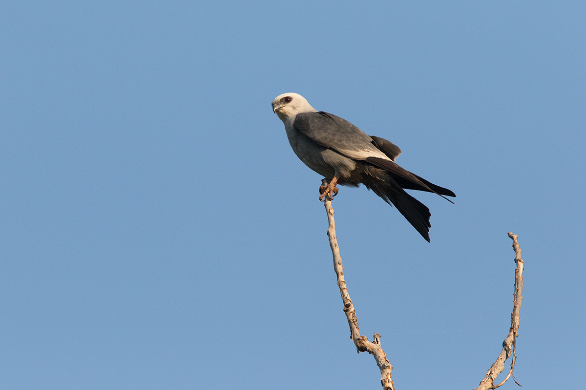 MISSISSIPPI KITE - TAYLOR COUNTY TX MAY, 2017