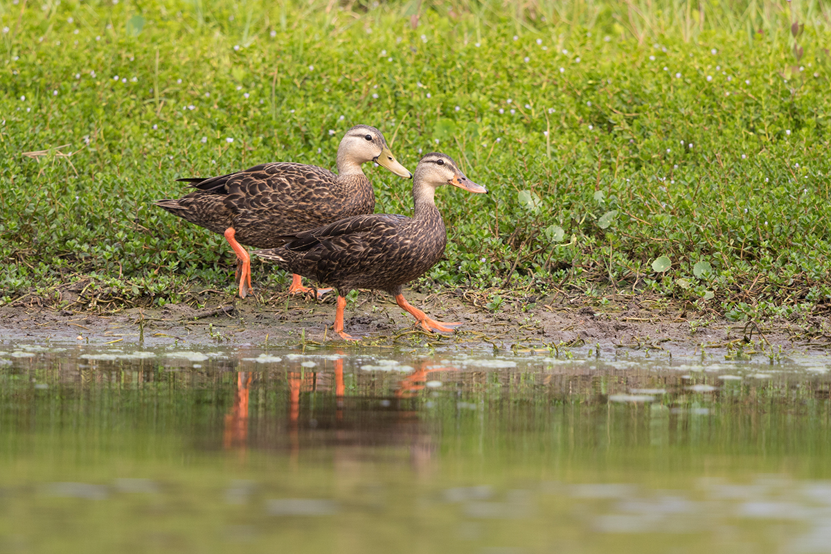 MOTTLED DUCK - GALVESTON COUNTY TX MAY, 2017