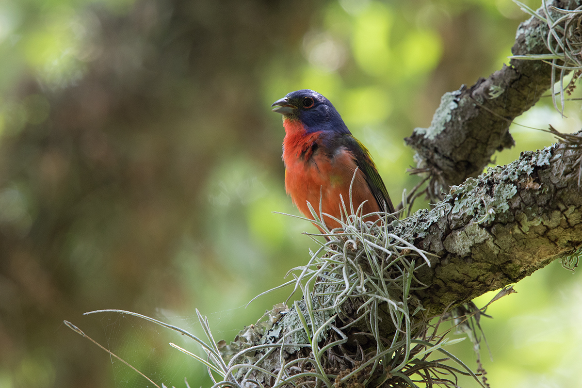 PAINTED BUNTING - WASHINGTON COUNTY TX MAY, 2017