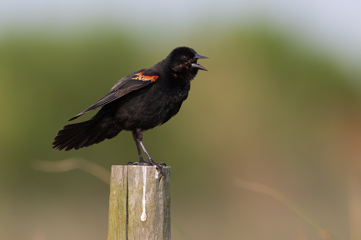 RED-WING BLACKBIRD - GALVESTON COUNTY TX MAY, 2017