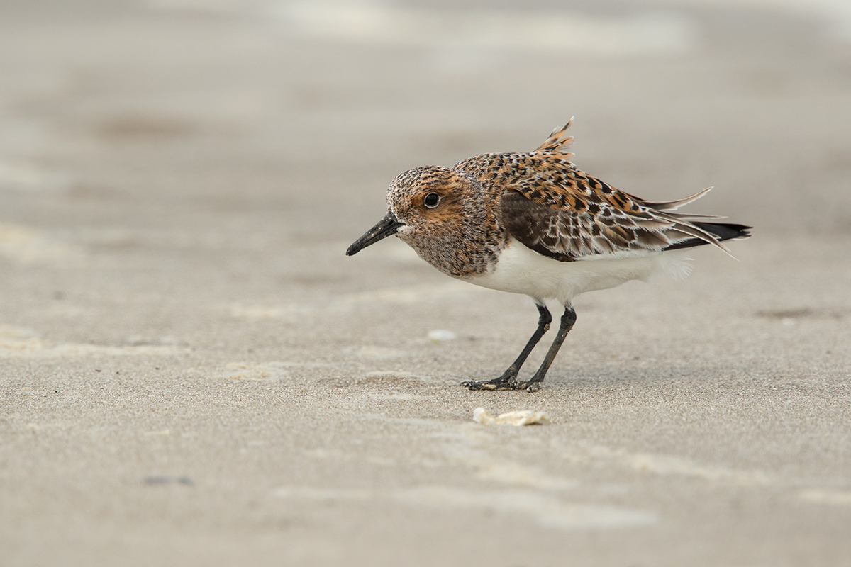 SANDERLING - GALVESTON COUNTY TX MAY 2017