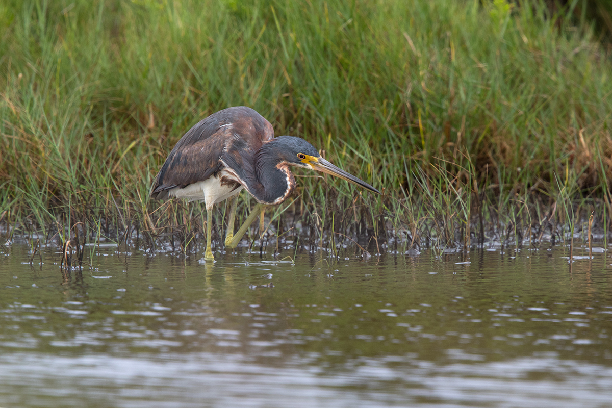 TRICOLORED HERON - GALVESTON COUNTY TX MAY 2017