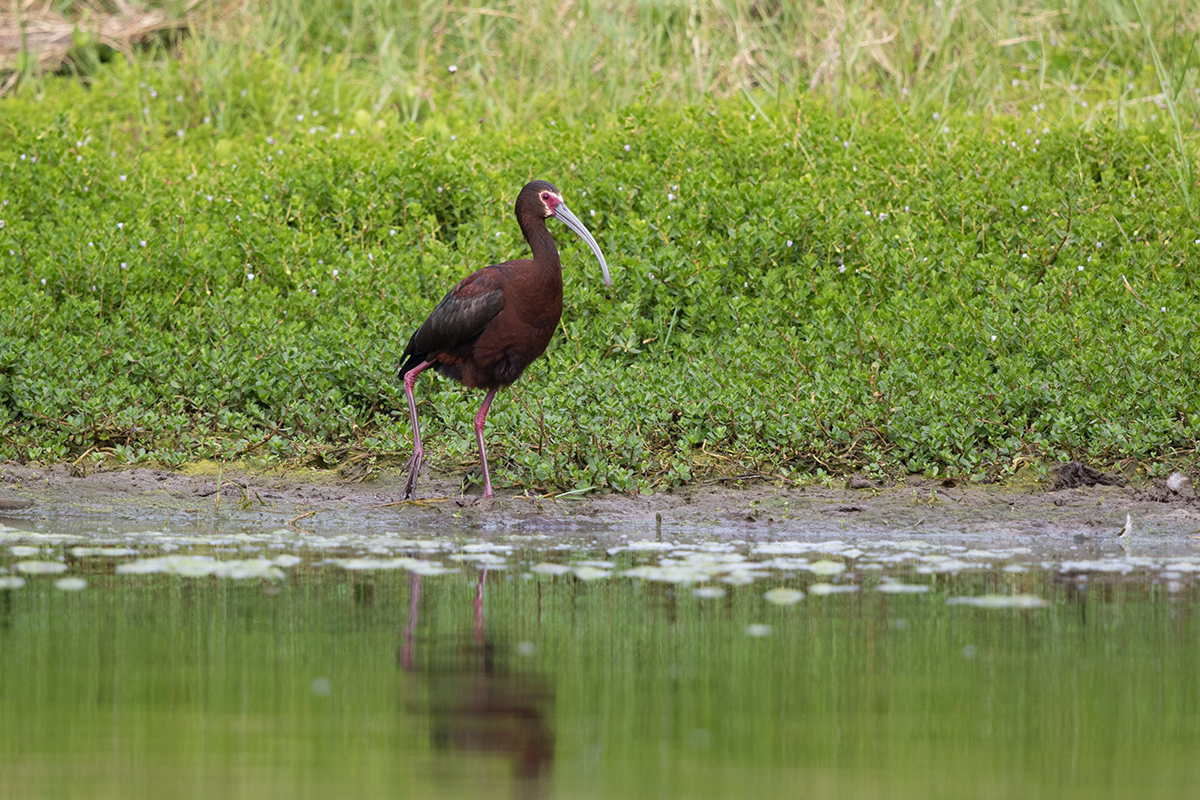 WHITE-FACED IBIS - GALVESTON COUNTY TX MAY 2017