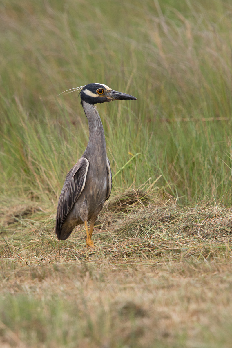 YELLOW-CROWNED NIGHT-HERON - GALVESTON COUNTY TX MAY 2017