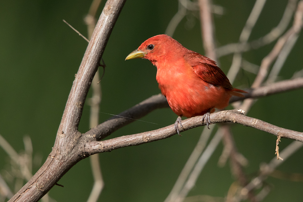 SUMMER TANAGER - TAYLOR COUNTY TX JUNE 2017