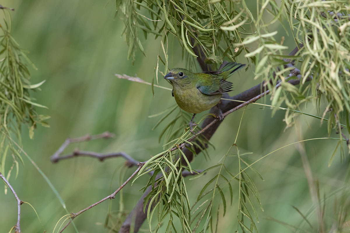 PAINTED BUNTING - TAYLOR COUNTY TX JUNE 2017