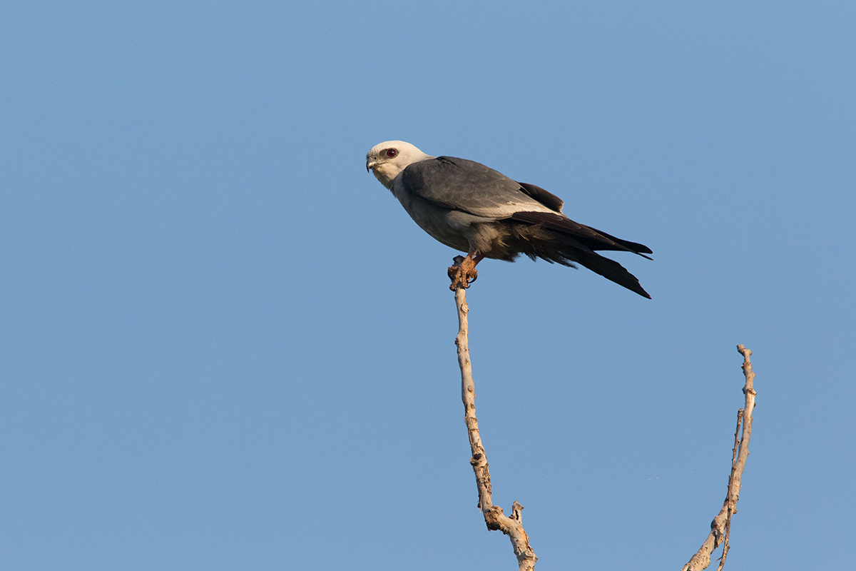 MISSISSIPPI KITE - TAYLOR COUNTY TX JUNE 2017