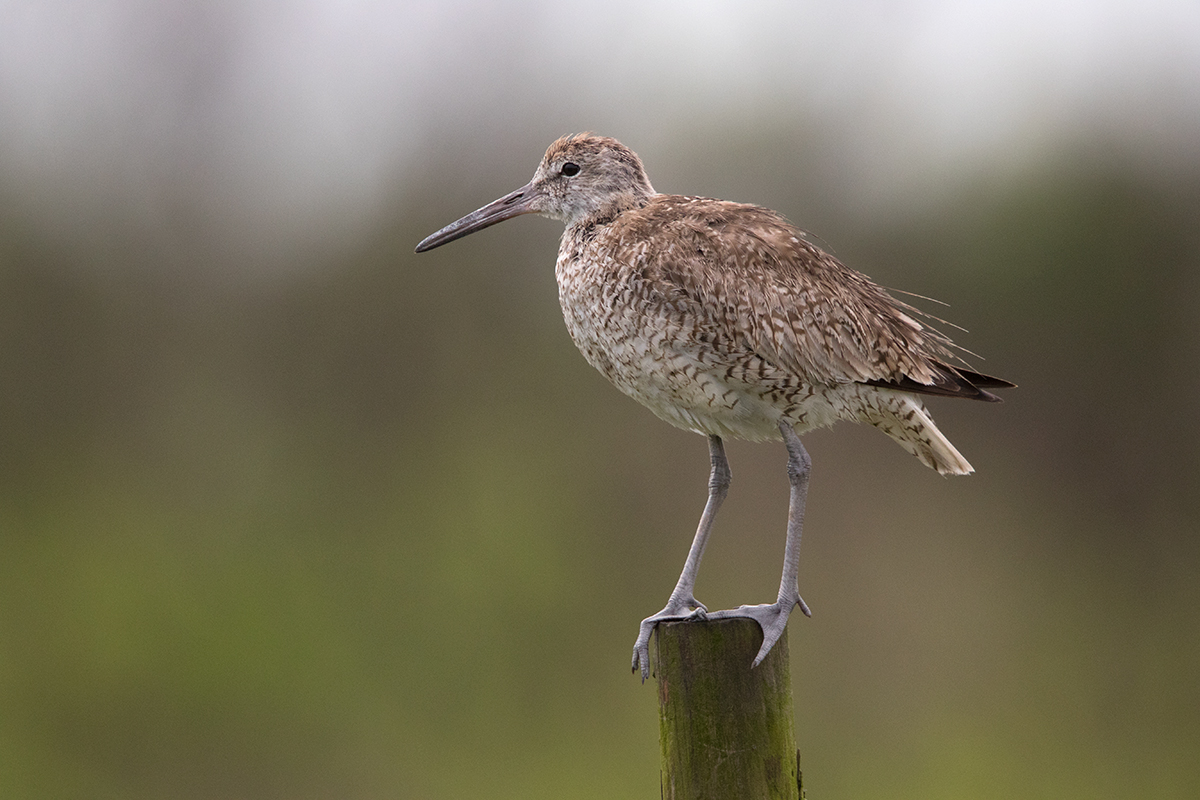 WILLET - GALVESTON COUNTY TX JULY 2017