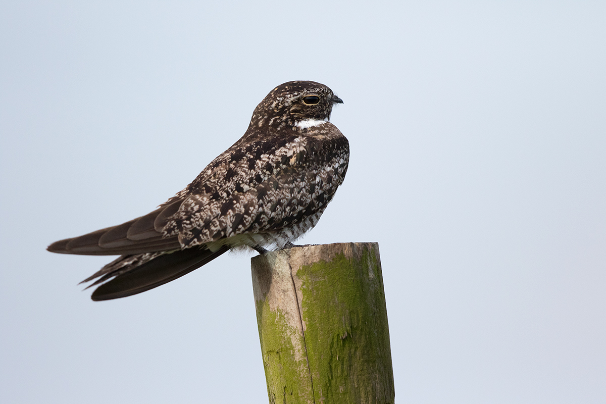 COMMON NIGHTHAWK - GALVESTON COUNTY TX JULY 2017
