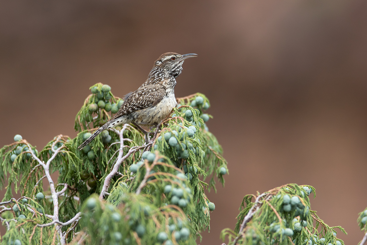 CACTUS WREN - BREWSTER COUNTY TX AUGUST 2017