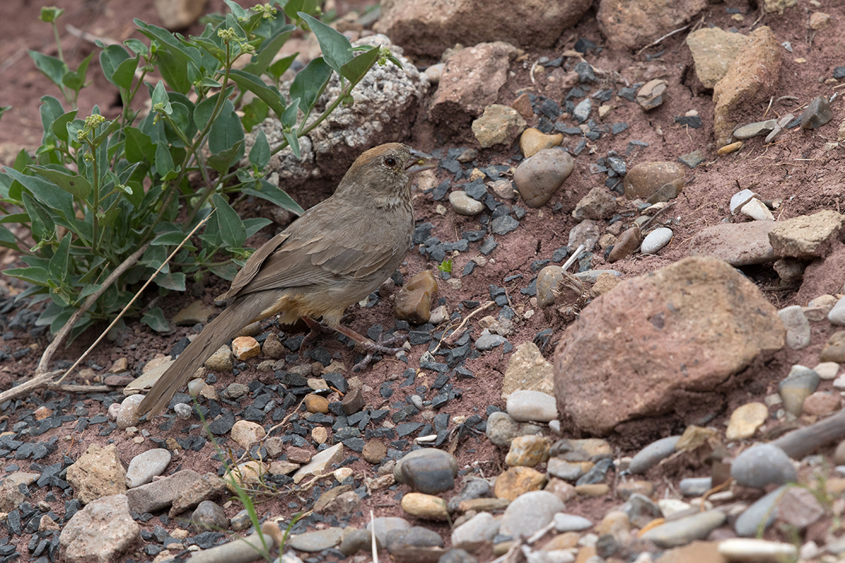 CANYON TOWHEE - BREWSTER COUNTY TX AUGUST 2017