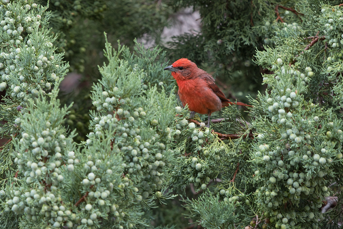 HEPATIC TANAGER - BREWSTER COUNTY TX AUGUST 2017