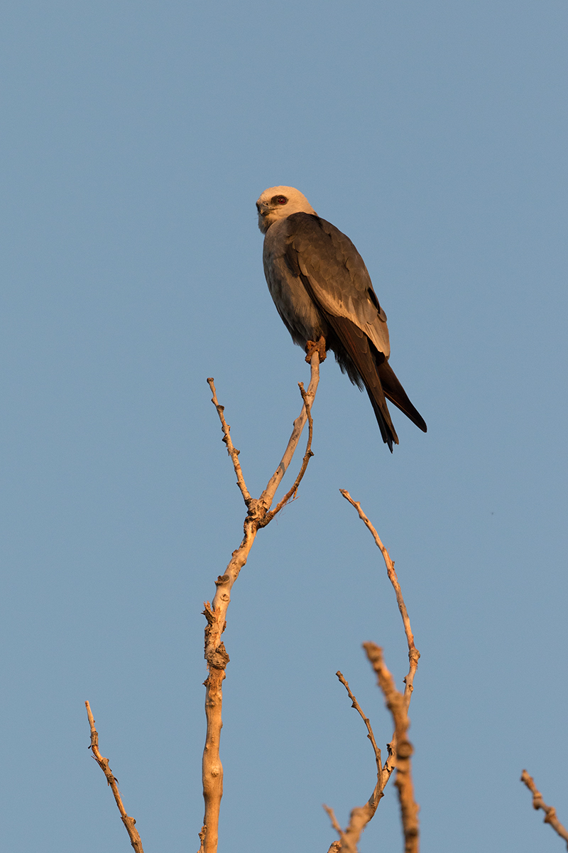 MISSISSIPPI KITE - TAYLOR COUNTY TX AUGUST 2017