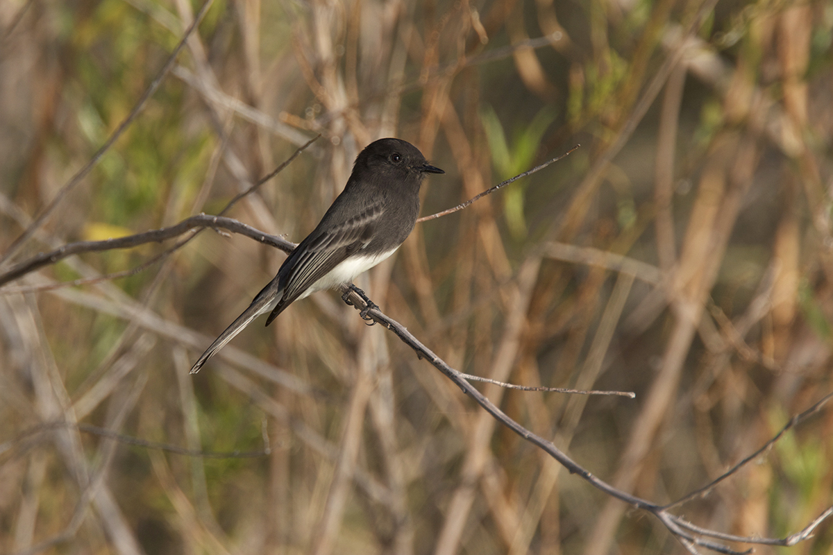 BLACK PHOEBE - BREWSTER COUNTY TX