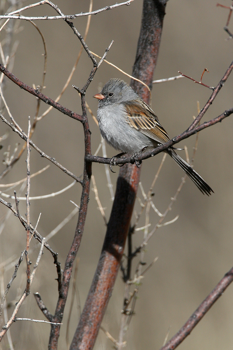 BLACK-CHINNED SPARROW - BREWSTER COUNTY TX